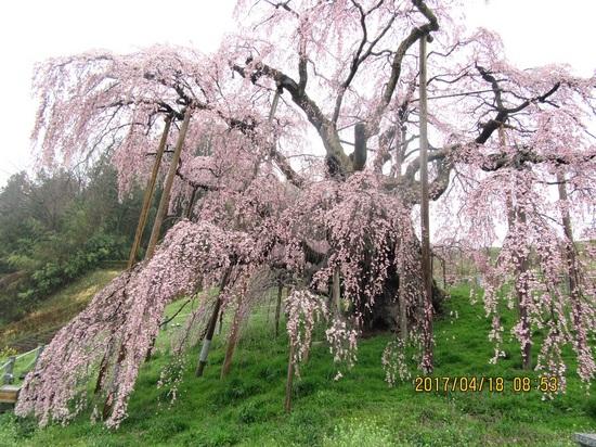 滝桜a-2IMG_1025.jpg