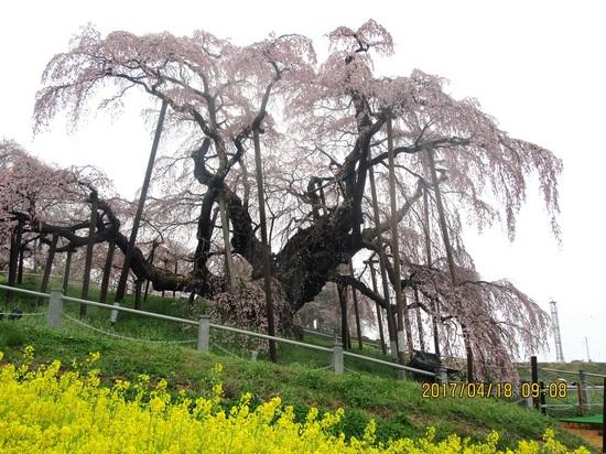 滝桜aIMG_1036.jpg