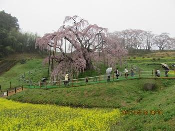 滝桜a_1022.jpg